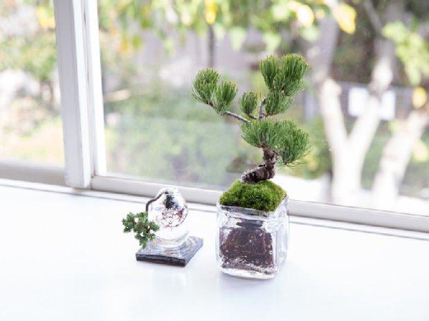 Jardin Bonsai Genièvre-dureté Bonsai!